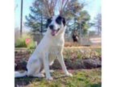 Adopt Honey a Great Pyrenees, Border Collie