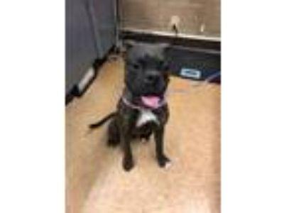 Adopt Kaylie a Boxer, Mixed Breed