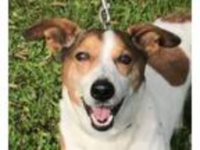 Adopt Shorty a Jack Russell Terrier