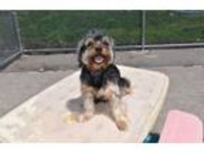 Adopt Essex a Yorkshire Terrier, Poodle