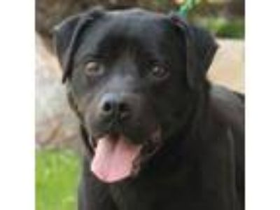 Adopt Desire a Labrador Retriever