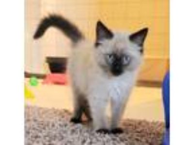 Adopt Bowser a Domestic Short Hair, Siamese
