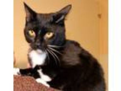 Adopt Willie a Black & White or Tuxedo Domestic Shorthair / Mixed (short coat)