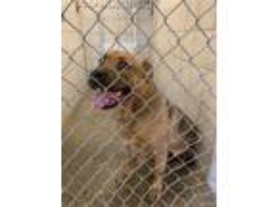 Adopt Bruno a German Shepherd Dog, Pit Bull Terrier