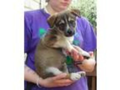 Adopt Eli a Brown/Chocolate - with Tan Border Collie / Shepherd (Unknown Type) /