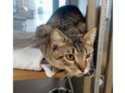 Adopt OLIVER a Brown Tabby Domestic Shorthair / Mixed (short coat) cat in