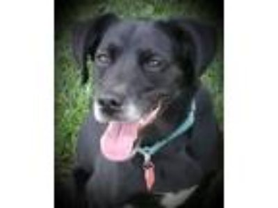 Adopt Baron a Black - with White Labrador Retriever / Mixed dog in Grayslake