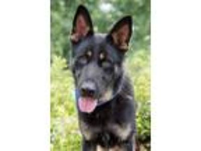 Adopt Bernard a German Shepherd Dog / Mixed dog in Madison, GA (25923017)