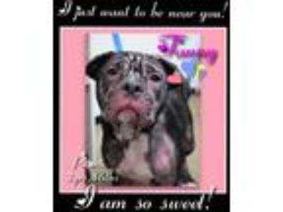 Adopt Fanny a Pit Bull Terrier