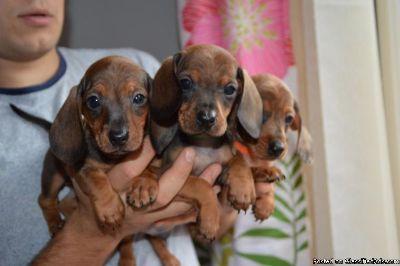 Daschund Puppies Ready