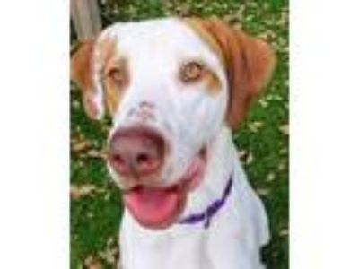 Adopt Diesel a Great Dane / Mixed Breed (Medium) / Mixed dog in Fort Myers