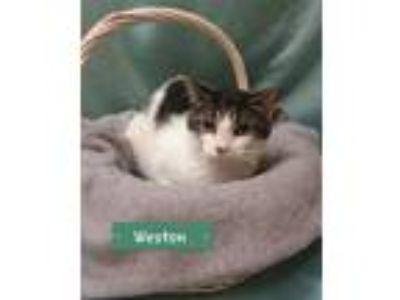 Adopt Weston a White Domestic Shorthair / Domestic Shorthair / Mixed cat in