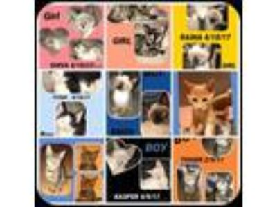 Adopt KITTENS! KITTENS! m & f a American Shorthair
