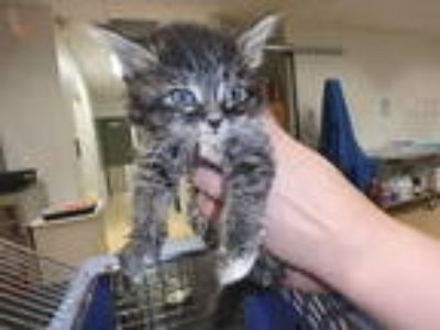 Adopt *ASTRID a Brown Tabby Domestic Longhair / Mixed (long coat) cat in