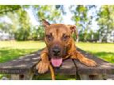 Adopt Crosby a Tan/Yellow/Fawn - with Black Pit Bull Terrier / Shepherd (Unknown