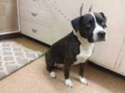 Adopt Noah a Brindle Boxer / American Pit Bull Terrier / Mixed dog in Madera