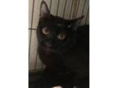 Adopt Edward a Domestic Short Hair