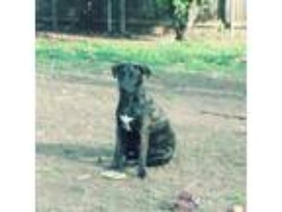 Adopt Kenai a Brindle - with White Labrador Retriever / Mixed dog in DFW