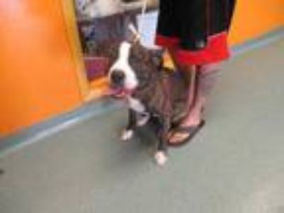 Adopt Meeks a Brown/Chocolate American Pit Bull Terrier / Mixed dog in Newton
