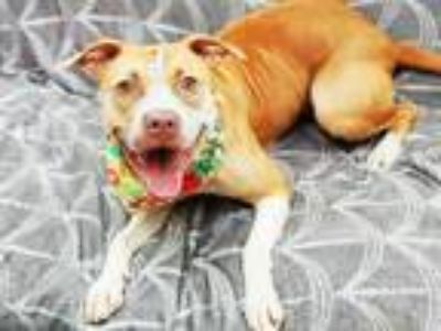 Adopt BANSHEE a Brown/Chocolate - with White American Pit Bull Terrier / Mixed