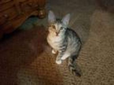Adopt Taylor a Gray, Blue or Silver Tabby Domestic Shorthair (short coat) cat in