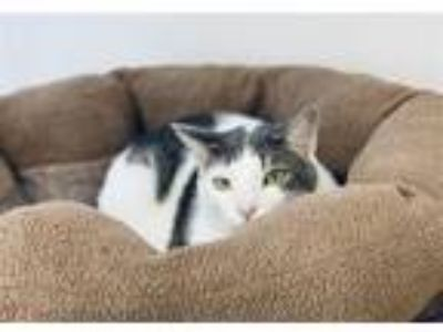 Adopt Ollie a Domestic Short Hair