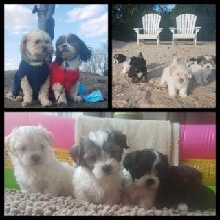 La-Chon PUPPY FOR SALE ADN-97930 - Lachon Puppies