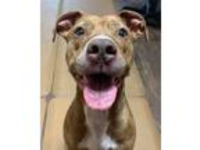Adopt Lulu a Brindle Terrier (Unknown Type, Medium) / Mixed dog in Sullivan
