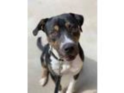 Adopt Tex a American Staffordshire Terrier, Mixed Breed