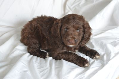 Poodle (Miniature)-Brittany Mix PUPPY FOR SALE ADN-87302 - Brittnepoo