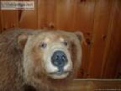 Alaskan Grizzly Bear Full Body Mount Taxidermy