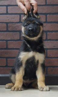 German Shepherd Dog PUPPY FOR SALE ADN-104826 - Beautiful German Shepherd puppies Almost Ready