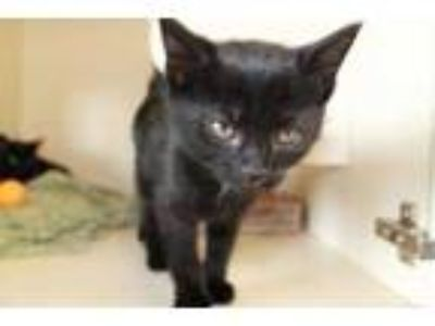 Adopt Colleen a All Black Domestic Shorthair / Domestic Shorthair / Mixed cat in
