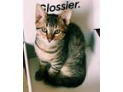 "Adopt Waffles "" Egyptian Mau Mix Kitten "" a Egyptian Mau, Domestic Short Hair"