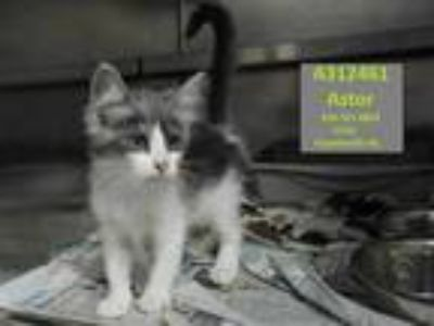 Adopt ASTOR a Gray, Blue or Silver Tabby Domestic Shorthair / Mixed (short coat)