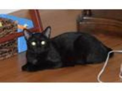 Adopt Jafra a Domestic Short Hair