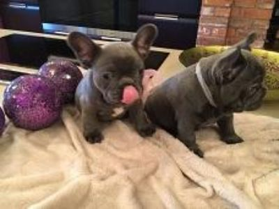 smart blue French Bulldog Pups