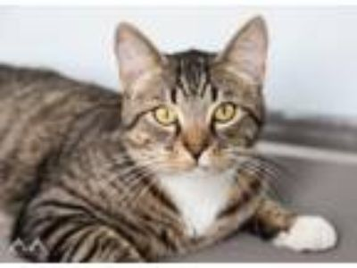 Adopt Regelus a Domestic Short Hair