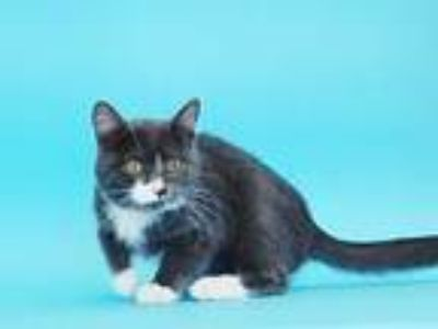 Adopt WILLIE a Gray or Blue (Mostly) Domestic Shorthair / Mixed (short coat) cat