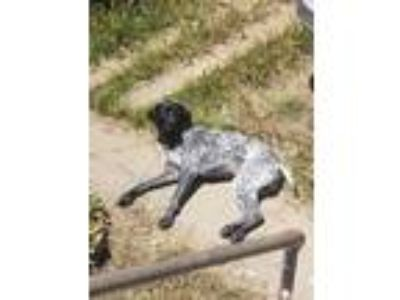 Adopt Omi a Black - with White German Shorthaired Pointer / Mixed dog in