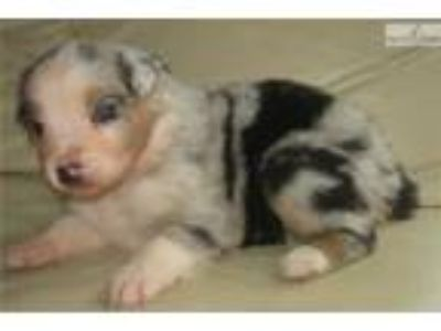 AKC/ASCA Blue merle female