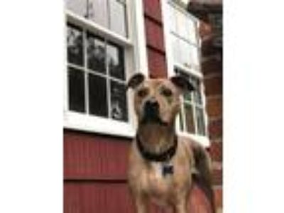 Adopt TIMMY a Catahoula Leopard Dog, Pit Bull Terrier