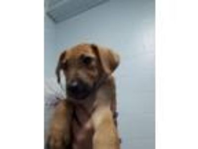Adopt Pluto (Puppy) a Terrier (Unknown Type, Small) / Mixed dog in Angola