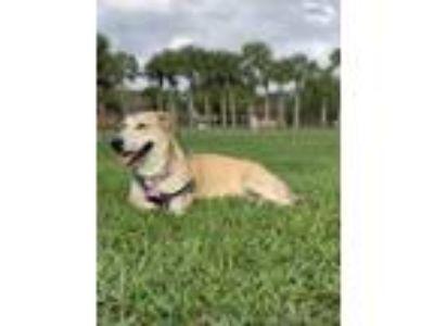 Adopt Cookie a Tan/Yellow/Fawn - with White Basset Hound / Corgi dog in Davie