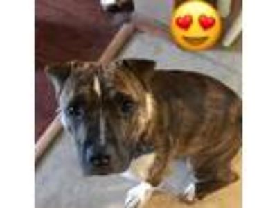 Adopt Dipper a Brindle Shar Pei / Mixed Breed (Small) dog in Pendleton