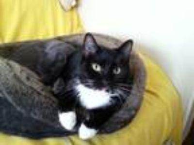 Adopt Poppy a Black & White or Tuxedo Domestic Shorthair / Mixed (short coat)