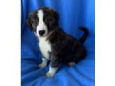 Adopt Flash a Australian Shepherd, Collie