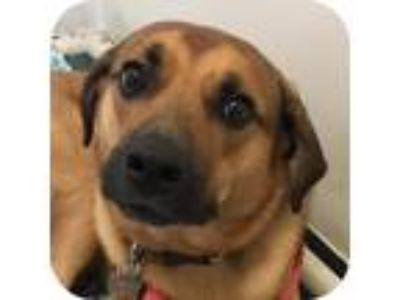 Adopt Riley 26295-d a Tan/Yellow/Fawn Labrador Retriever / Mixed dog in Ithaca