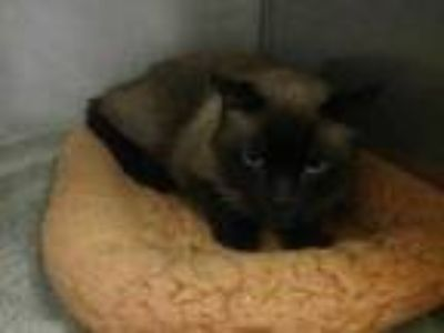 Adopt SIR ELLIOTT a Brown or Chocolate Siamese / Mixed (short coat) cat in