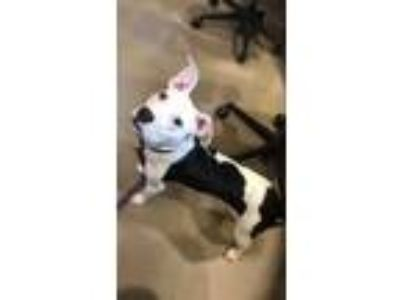 Adopt Niya a Pit Bull Terrier, Mixed Breed